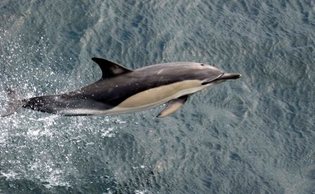Common Dolphin (© MARINElife / Rick Morris)