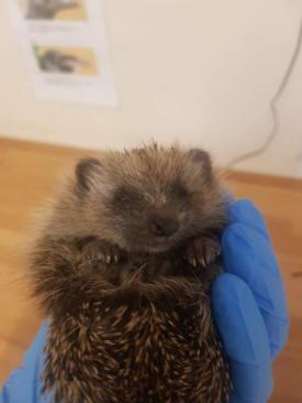 Hedgehog (RSPCA)