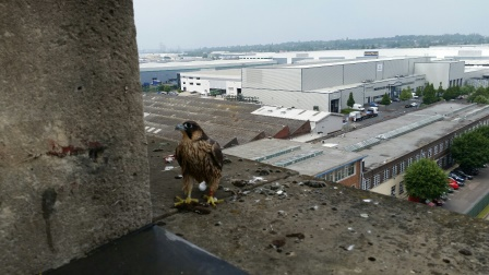 Peregrine Falcon chick released back to Fort Dunlop (RSPCA)