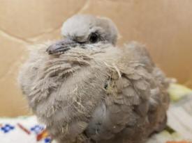 Collared dove (RSPCA)