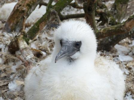 Gannet chick (Maggie Sheddan)
