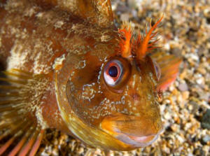 Male tompot blenny, defending his territory  (Paul Naylor)
