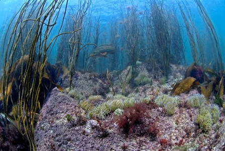 A thongweed forest in the shallows, the water here would only be  waist deep at low tide (Paul Naylor)