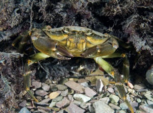 Even animals sometimes considered humdrum,  such as this shore crab, lead colourful lives  (Paul Naylor)