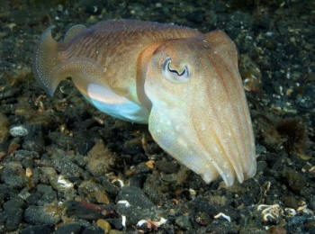 A curious cuttlefish comes to examine me (Paul Naylor)