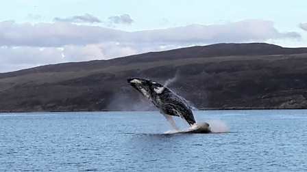 A volunteer observer phone snap of a breaching humpback whale off  the Isle of Skye (Brian Wells / Sea Watch Foundation)