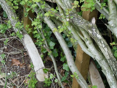 The first signs of regrowth in Spring/early Summer on a hedge layed  in the previous Winter (D.J. Hale)