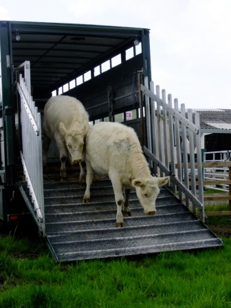 Familiarise yourself with livestock transportation  regulations (Ruth Dalton, Whitebred Shorthorn cattle)