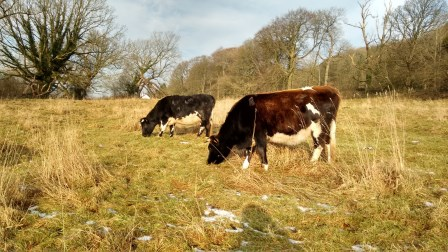 Late season grazing with cattle can take the place of a hay cut on difficult sites (Ruth Dalton, Shetland cattle)