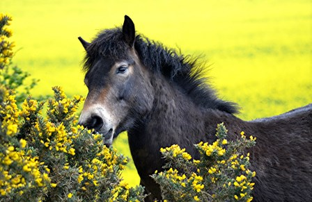 Equines will browse as well as graze (Juliet Rogers, Exmoor Pony)