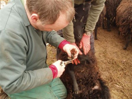 There is no substitute for practical, hands-on experience  (Darren Morris, Hebridean Sheep)