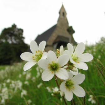 Meadow saxifrage in Bridgnorth Cemetery  (Dan Wrench)