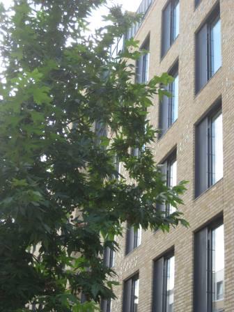 Urban street tree (Rebecca Clark)