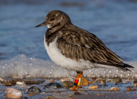 The use of colour rings, such as those on this Turnstone, can greatly  increase the chances of an individual bird being seen again. They are  most appropriate when used on birds that are approachable and often  found in bare habitat where birders can get good views of their legs  (Ruth Walker)