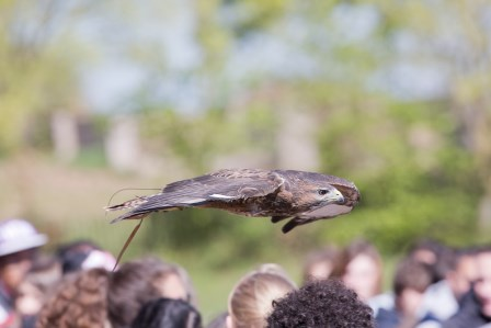Juvenile Grey Buzzard showing how close he can get to the visitors  and amaze them (Linda Wright)