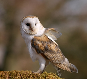 One of our charming Barn Owls (Linda Wright)