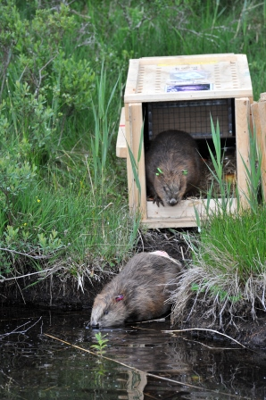 Release of beavers as part of the Scottish  Beaver Trial (Scottish Beaver Trial)