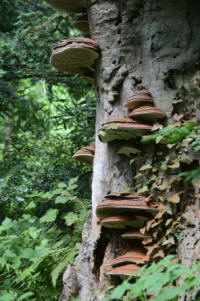 Fungal brackets of the Ganoderma  genus, helping to recycle the  nutrients locked up in the wood of  this beech tree. This in turn creates  a valuable wood decay habitat for  a range of wildlife species  (© Brian Muelaner)