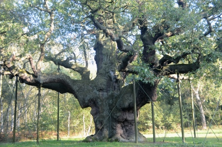 Major oak, Sherwood Forest. Reputed to be the hiding place of Robin  Hood (© Brian Muelaner)