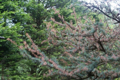 Shoot blight on Cedrus atlantica caused by Sirococcus tsugae  (© Forestry Commission)