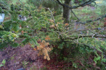 Shoot and branch dieback on fir caused by Neonectria  neomacrospora (© Forestry Commission)