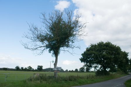 Ash Dieback affecting young hedgerow tree (Tree Council)