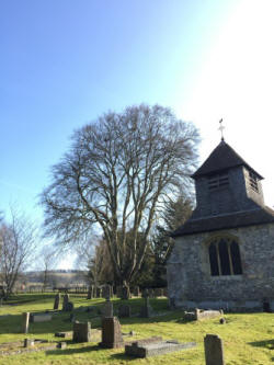 Beech tree under health monitoring in a  Churchyard in Shipton Bellinger  (Amelia Williams)
