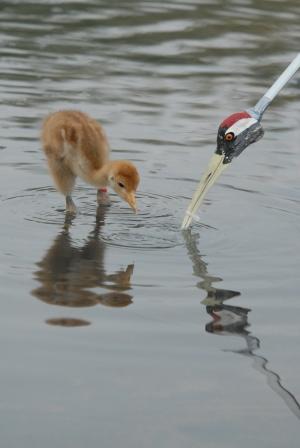 Crane feeding in water (James Lees)