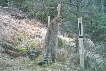 A high pelage scoring potential wildcat (Scottish Wildcat Action)