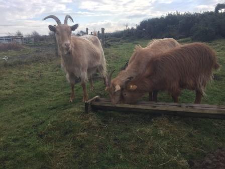 Golden Guernsey goats at Freshfield Dune Heath (Lancashire Wildlife Trust)