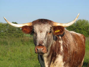 Longhorn at Lightshaw Meadow Nature Reserve (Lancashire Wildlife Trust)
