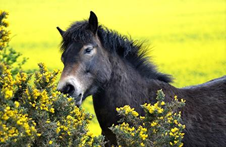 Exmoor pony at North Berwick Law feasting on gorse  (Sylvia Beaumont