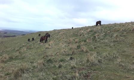 Ponies grazing on Traprain Law © C. Smillie 2017