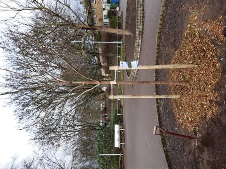 The Cambridge Canopy Project has begun planting the first of 2,000 new trees for the City.(Cambridge City Council)