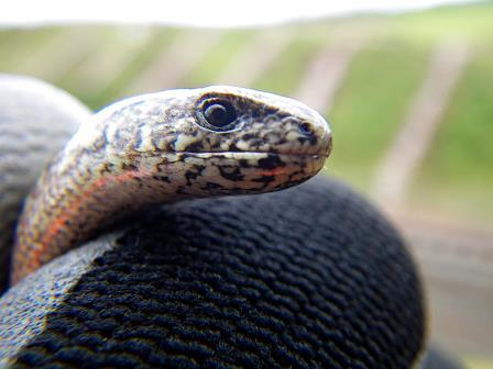 Slow-worm held in gloved hand at rail works site © Caledonian Conservation Ltd