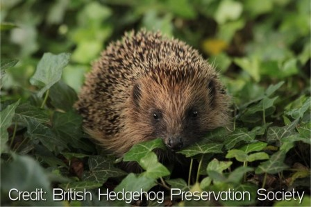 The West European hedgehog is now vulnerable to extinction in Britain (BHPS)