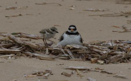 The rare sight these days of a Ringed Plover with a chick (Andy Bloomfield)