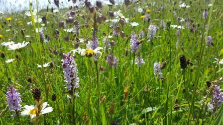 A native wildflower verge with abundant Common Spotted-orchids (©Lydia Massiah)