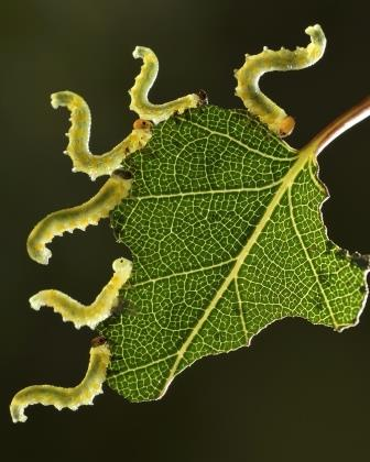 Anthony Cooper - Sawflies eating a birch leaf, 2nd Prize 2014 NIW Photography Competition, Insects Alive category