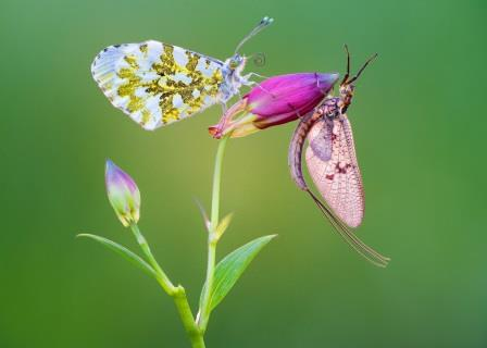 Petar Sabol - Orange tip butterfly and mayfly sharing, 1st Prize 2018 NIW Photography Competition, Adult category