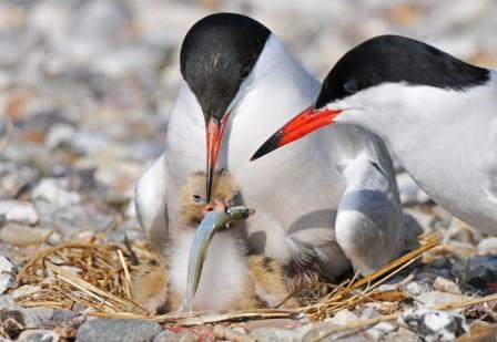 Common Tern (Sterna hirundo) parents provisioning their chick © Andrea Parisi