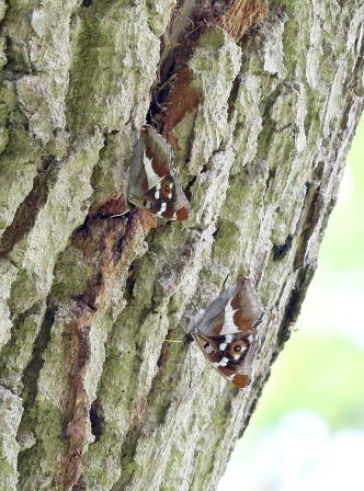 Purple emperor butterfly, recently returned to the restored Foxley Wood (Barry Madden)