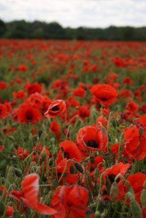 Common Poppy © Tim Pankhurst