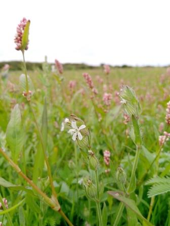Small-flowered Catchfly at Windmill Farm © H Gibbons