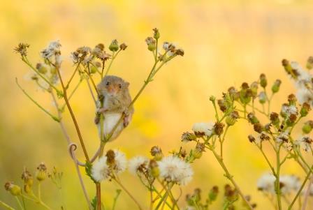 Harvest Mouse © Ben Andrew