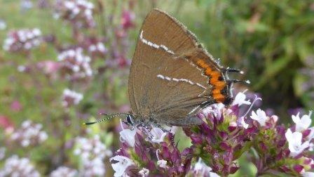 White letter hairstreak ©Ben Keywood