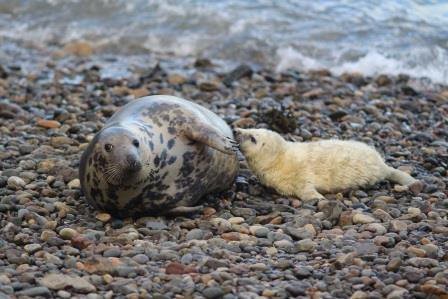A Grey seal cow and her pup on one of the beaches at the Skomer marine conservation zone © NRW