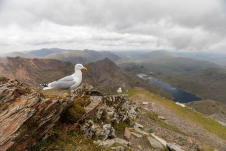 Herring Gull on Snowdon summit (Ben Porter Photography)