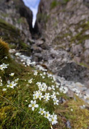 Mossy Saxifrage (Ben Porter Photography)
