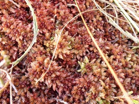 Sphagnum divinum - one of the key peat-forming species of sphagnum (Jenny Sharman)